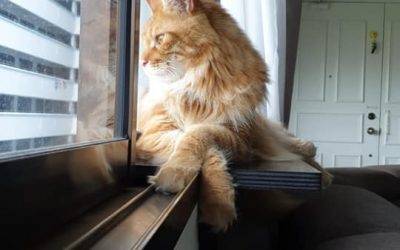 Garfield the Maine Coon Says Selamat Hari Raya Aidilfitri!